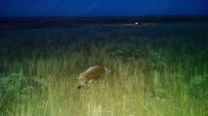 More poached antelopes found along 50-mile stretch near Casper