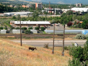 Moose spotted in Missoula neighborhood