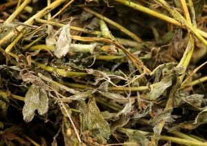 Mold grows in alfalfa