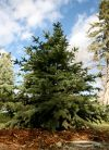 A blue spruce planted in Pioneer Park