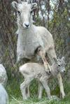 New lamb at ZooMontana