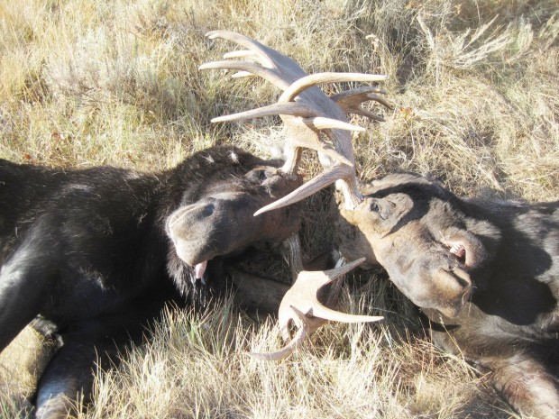 Bull moose battle to the death