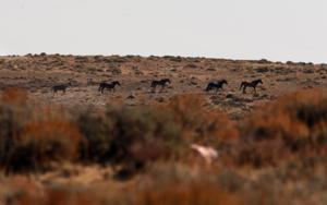 In fight over Wyoming's wild horses, advocates see test of public land stewardship