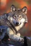 U.S. gray wolves rebound but still face uncertain future