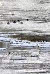 Trupeter swans