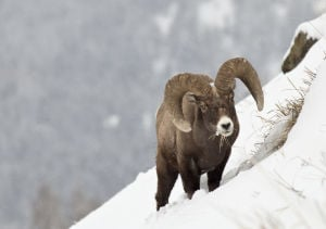 Yellowstone in winter offers great opportunities to watch wildlife