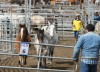 Three horses are sent to a holding pen