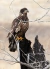 Feature photo: Golden eagle near Stillwater River