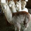 Alpacas wait to be sheared