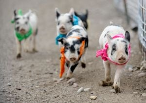 Pig races add a delicious twist to dining at Bear Creek Steakhouse