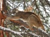 Researchers finding that cougars not so solitary