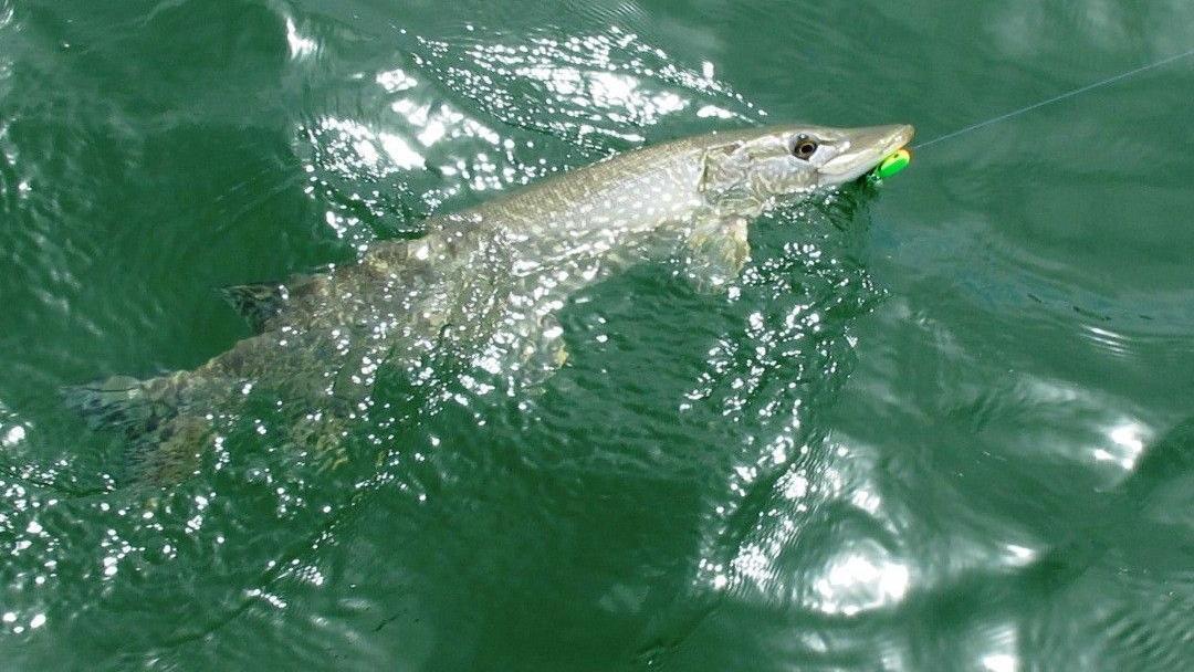 Invasive fish threaten trout perch at lake near williston for Northern utah fishing report