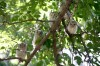 Eastern screech owls roost in Billings yard
