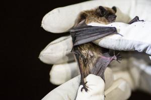 Deadly bat fungus reported in Nebraska, one step closer to Wyoming