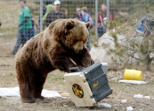 Zoo bears demonstrate sheer strength in destroying mock campground
