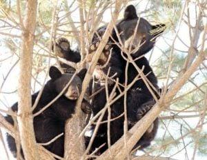Darby man sentenced to 14 days in jail in bear poaching case