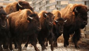 FWP picks 4 top choices to receive disease-free bison