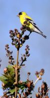 An American gold finch perches