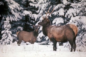 Wyoming refuge elk numbers well above average