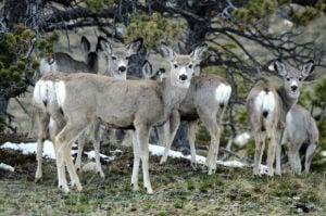 Deer populations still rebounding from declines