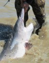 FWP: Oil spill won't affect paddlefish season