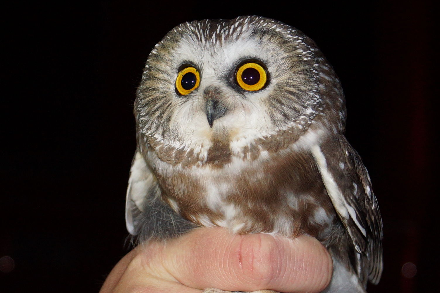 Banding owls provides close encounters of the nocturnal kind ...