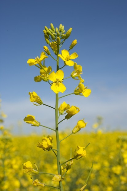 Canola plant | Bismarck-Mandan Business News ...