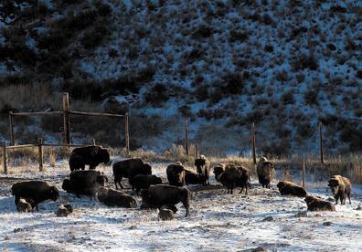 Bison in quarantine
