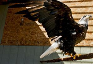 New Bald Eagle at Montana Raptor Conservation Center