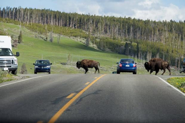 The wonders of Yellowstone, off the road