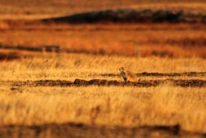 Calculating prairie dog consumption to improve management