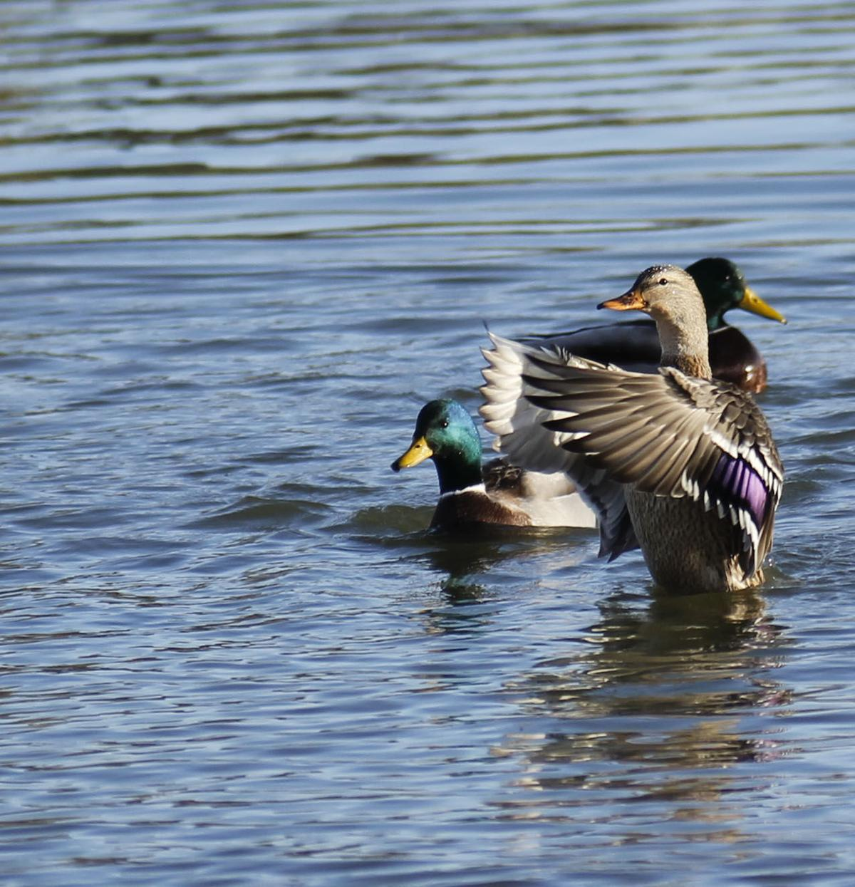 Nonresident waterfowl hunting fight flares up again for South dakota non resident fishing license