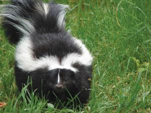 More than 60 skunks caught in Pierre since June