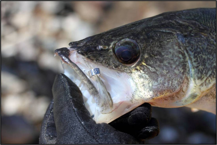 Cashing in on research walleye tagging project includes for South dakota game fish