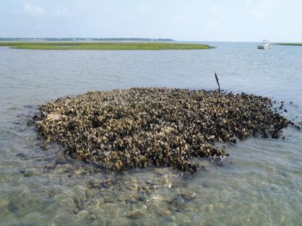 Underwater oyster reef - photo#6