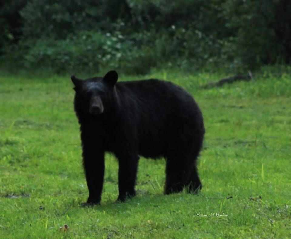 black bear returns to cecil county spotlight. Black Bedroom Furniture Sets. Home Design Ideas