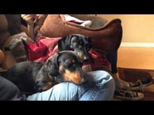 Dachshunds React to Law & Order