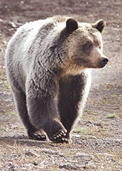 <p>A grizzly forages for something to eat at the Sleeping Giant Ski Area along the North Fork Highway in Spring 2013.</p>