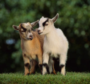 Pet Talk: Pet Pygmy Goats