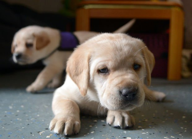 Future Service Dogs Need Homes