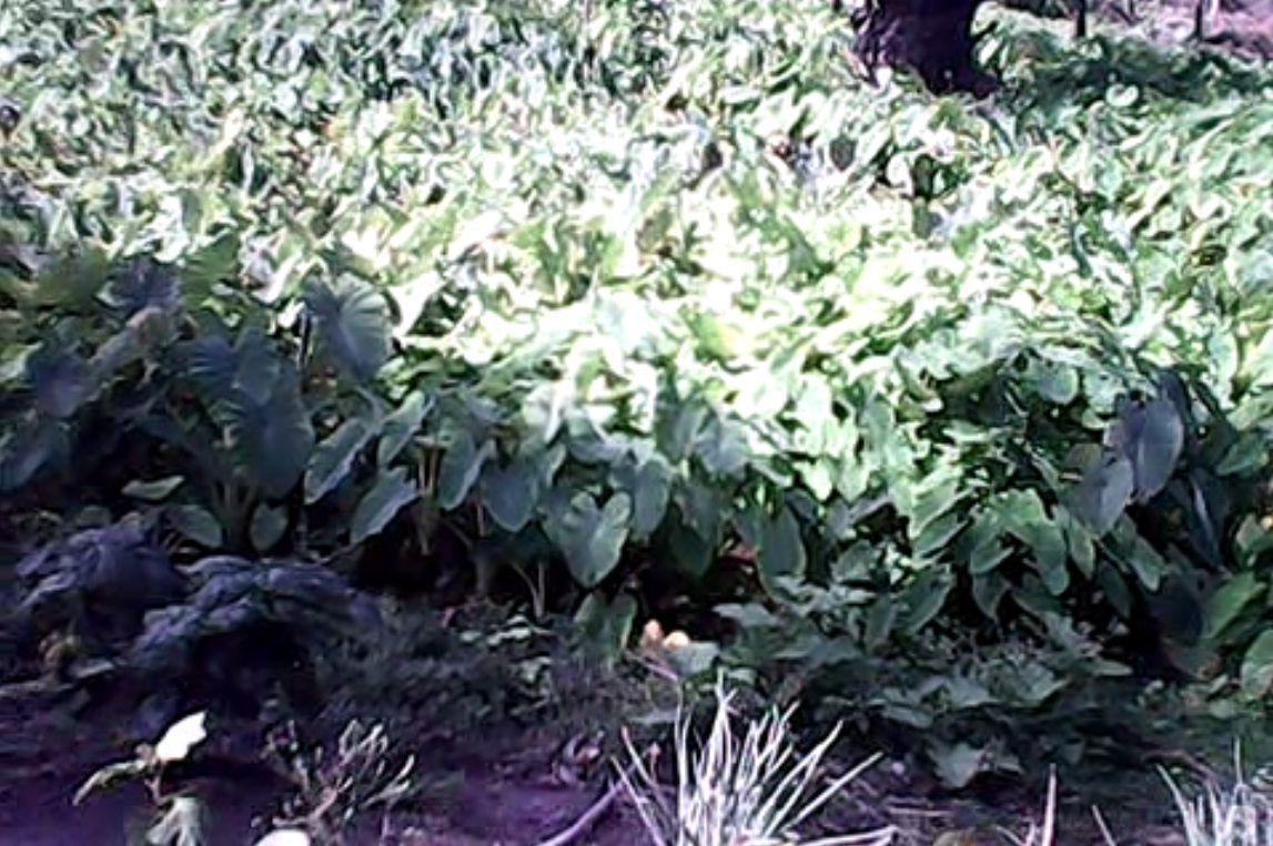 Taro bond with taros ready for harvest