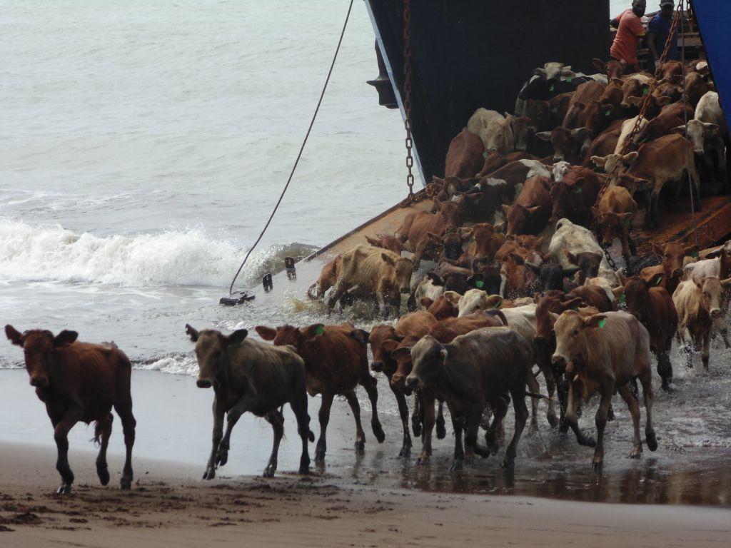 Ban on killing of female cattle will support restocking program: Seremiah