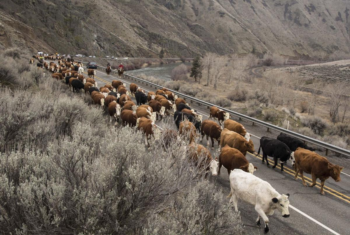 E Cattle Drive Eaton family cattle dr...