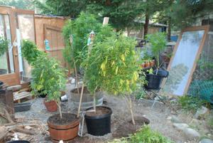 90 marijuana plants growing