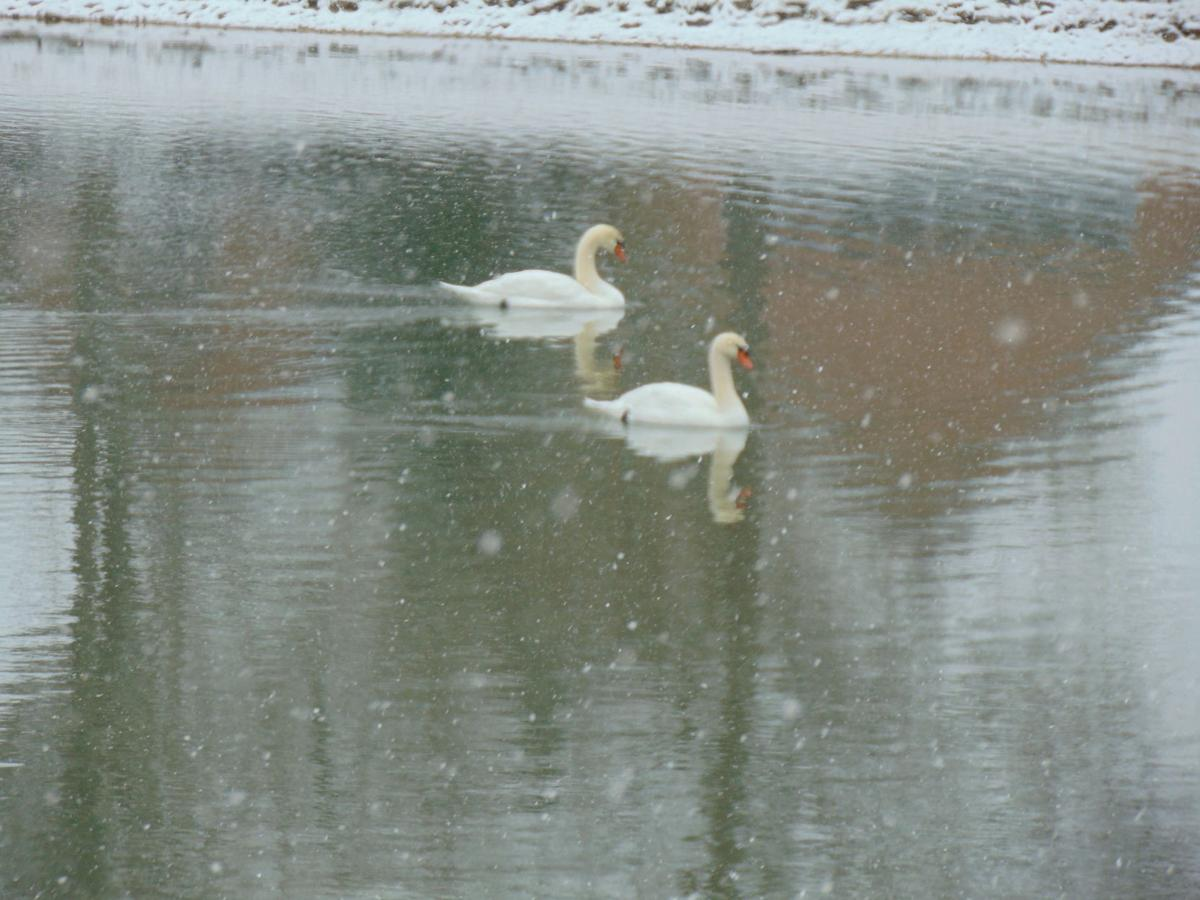 ICY SWANS WITH SNOW FLAKES.jpg