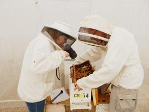 Catching the buzz: Researchers key on honeybees