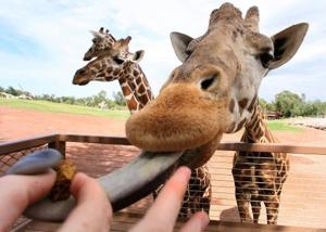 Feed the giraffes a lofty lunch at zoo