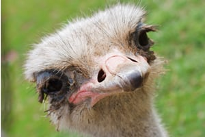 Ostrich