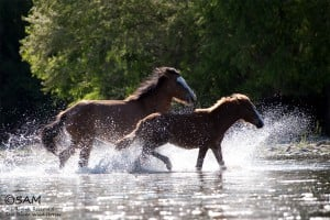 Salt River horses