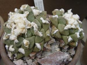Living Rock Cactus